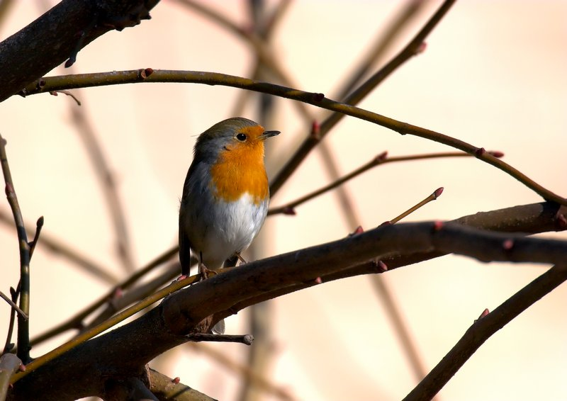 little robin stand on a branch in sunrise yellow light