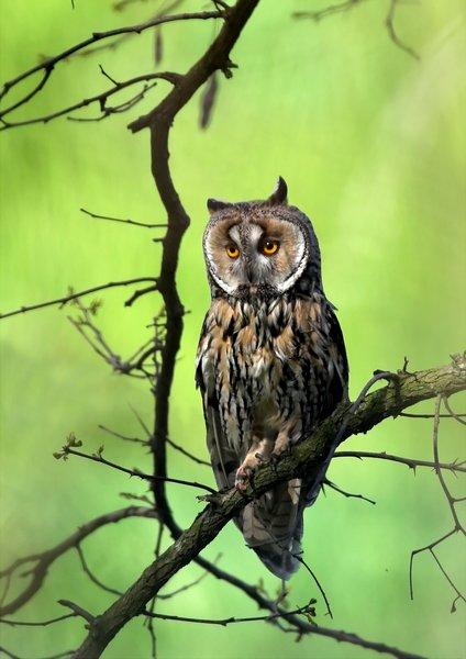 long eared owl standing on a branch in green forest